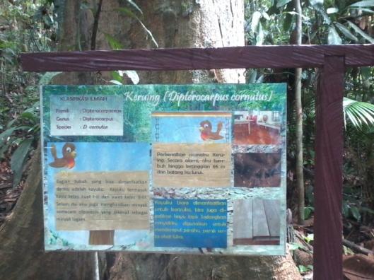 Informasi mengenai pohon Keruing