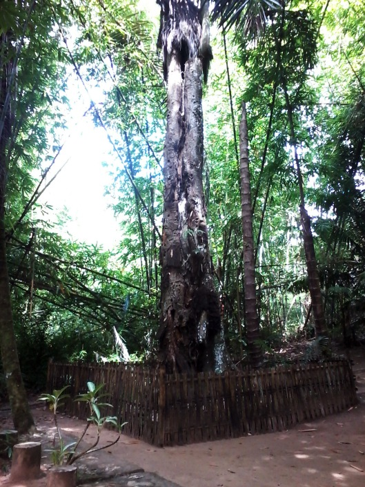 Pohon Taraa